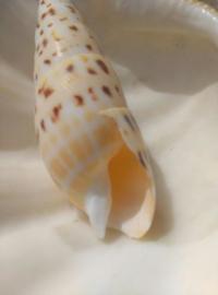Terebra Maculata Grote Schelp - 14-16 cm