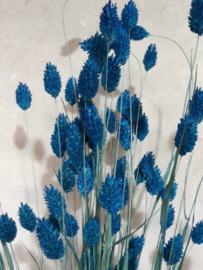Gedroogde Phalaris  Blauw Droogbloemen Kanariegras