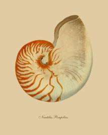 Kaart Ansichtkaart Schelp Nautilus - Shell