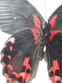 Opgezette Vlinder Papillio rumanzovia  in Walnoot Houten Lijst