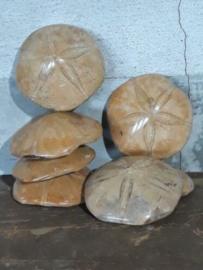Gepolijste Fossiele Zeeegel Zee Egel Mepygurus