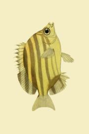 Kaart Ansichtkaart Konings Vis - Kingfish