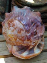 Cassis Rufa Cameeslak Grote Schelp 16cm