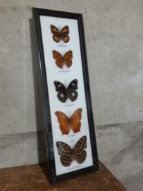 Opgezette Vlinders in Lijst - Assorti 5 Stuks