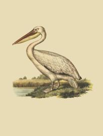 Kaart Ansichtkaart Pelikaan - Pelican