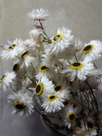 Gedroogde Bos Droogbloemen Strobloemen Acroclinium Wit