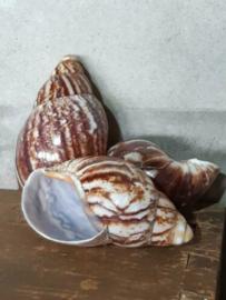 Grote Schelp - Schelpen - Slak Slakkenhuis Gepolijst 14 cm
