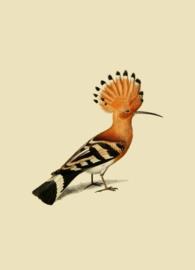 Kaart Ansichtkaart Hop Vogel - Hoopoe Bird