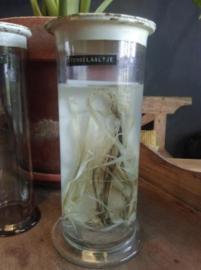 Oude Brocante Glazen Bokaal Stengelaaltjes op Sterk Water Biologielokaal