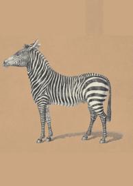Kaart Ansichtkaart Zebra