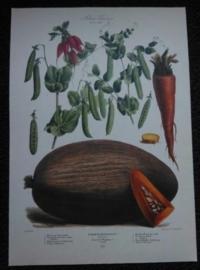 Botanische Prent Vilmorin Vegetable Garden Groente Art Print Nr29