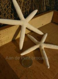 Zeester Finger Starfish 16-19 cm - per 3 stuks