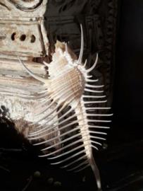 Murex Pecten Venuskam 11-12 cm Grote Schelp