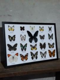 Opgezette Vlinders in Lijst - Assorti 20 Stuks