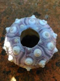 Zeeegel Spoetnik Sputnik Heterocentrotus Zee Egel 6-7 cm