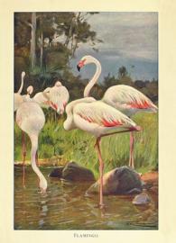Kaart Ansichtkaart Flamingo's Groep