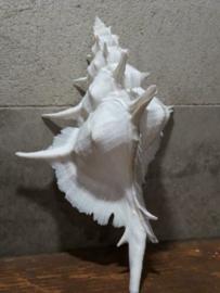 Murex Alabaster Venuskam 14-16 cm Grote Schelp