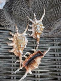 Lambis Scorpio Grote Schelp 12-14 cm