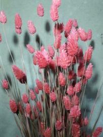 Gedroogde Bos Phalaris Roze Droogbloemen Kanariegras