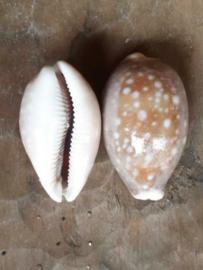 Cyprea Arabica Schelpen - 5.5-6.5 cm