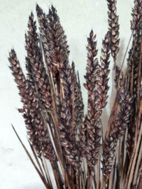 Bos Gedroogde Grassen Tarwe Droogbloemen Bruin Choco