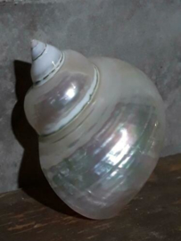 Turbo Marmoratus Pearlized Parelmoer 8-11 cm Grote Schelp