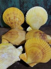 Pecten Nobilis Dubbel Geel Grote Schelp 7-8 cm
