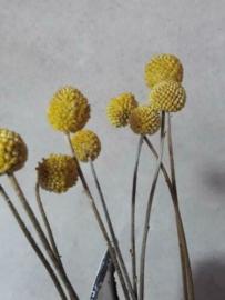Gedroogde Bos Graspedia Drumsticks Geel Droogbloemen 40 cm