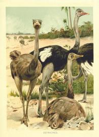 Kaart Ansichtkaart Struisvogel - Ostrich