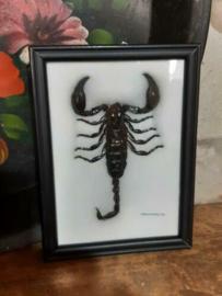 Opgezette Grote Zwarte Schorpioen in Lijst