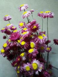 Gedroogde Bos Droogbloemen Strobloemen Acroclinium Roze