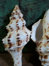 Latirus Polygoneus Grote Schelp 8-10 cm