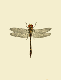 Poster Prent Libelle - Dragonfly
