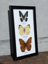 Opgezette Vlinders in Lijst - Assorti 3 Stuks