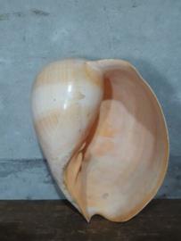 Melo Broderipi - Diadema Grote Schelp 27-29 cm