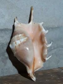 Lambis Schelpen 14-16 cm
