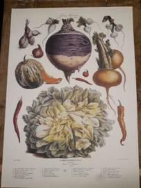 Botanische Prent Vilmorin -The Vegetable Garden- Groente Art Print nr24