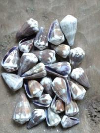 Conus VioletSchelpen 2.5-4 cm 25 stuks