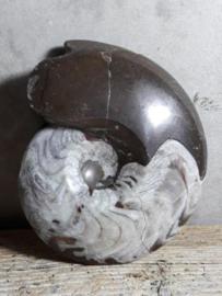 Versteende Ammoniet Gepolijst Fossiel