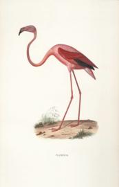 Kaart Ansichtkaart Flamingo