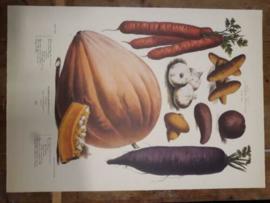 Botanische Prent Vilmorin -The Vegetable Garden- Groente Art Print nr28