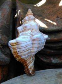 Fasciolaria Trapezium Grote Schelp 13 cm