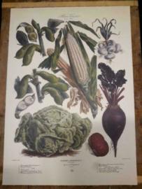 Botanische Prent Vilmorin -The Vegetable Garden- Groente Art Print nr31