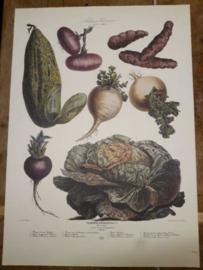 Botanische Prent Vilmorin -The Vegetable Garden- Groente Art Print nr25