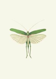 Kaart Ansichtkaart Sprinkhaan - Grasshopper