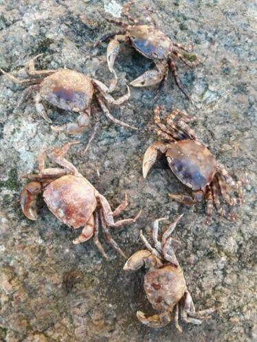 Opgezette Krab - Krabben 5-7 cm