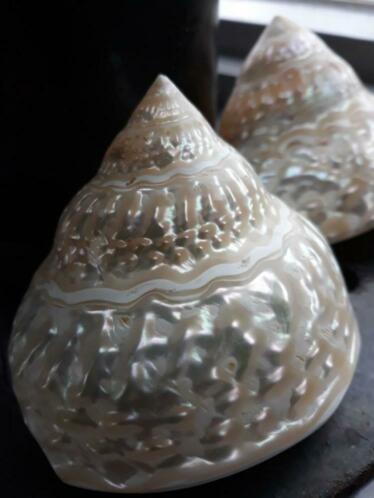 Astrea Undosa 7-9 cm Grote Schelp