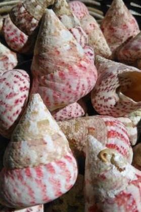 Trochus Troca Strawberry Roze Schelpen 4-6 cm - 1 Kilo