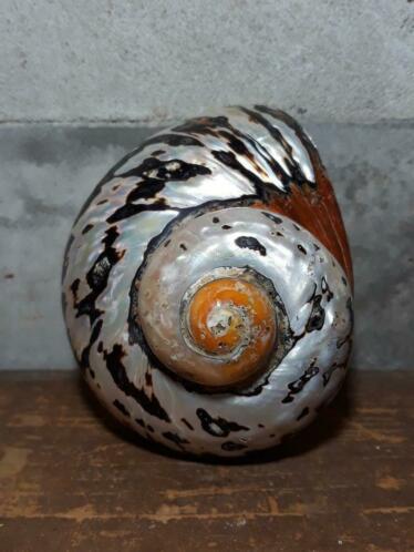 Turbo Sarmaticus Parelmoer 10-11 cm Grote Schelp