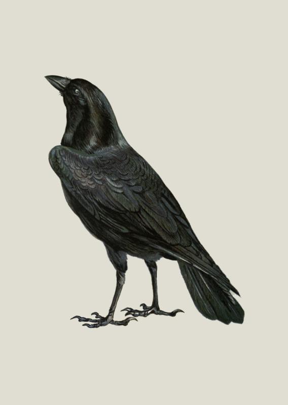 Kaart Ansichtkaart Kraai - Crow
